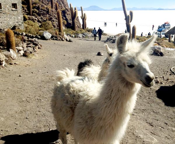 Cacti and llama covered Incahuasi Island