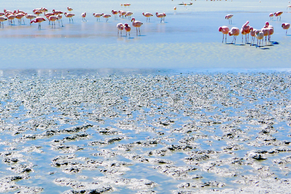 and are also home to thousands of the pink Andean and rare James's flamingos