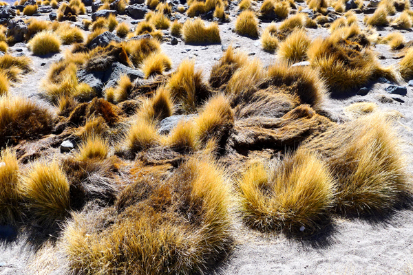 just some of the unique and beautiful desert brush landscape in the Salar de Uyuni