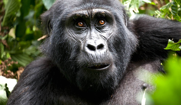 one of the less than 800 mountain gorillas in the world (photo courtesy of africatravelresource.com)